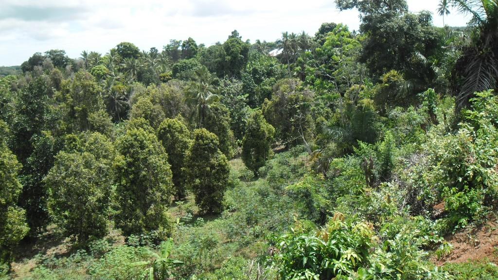 Cloves Plantation at Tundaua Ward in Central Pemba