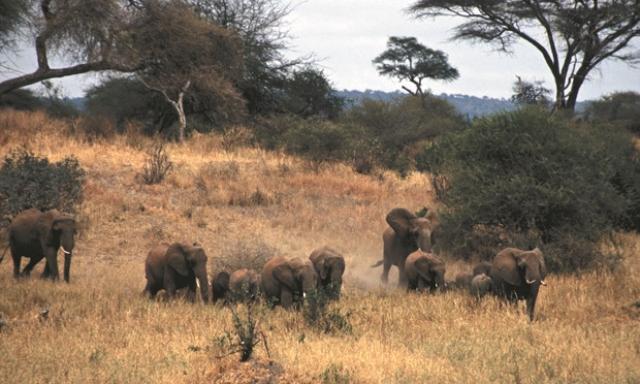 A herd of elephants in Tarangire National Park, Tanzania. Photograph: Ingvild Holm/Environmental Investigation Agency