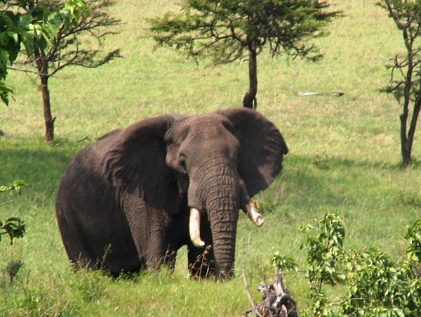 A male elephant in Tanzania's Serengeti ecosystem
