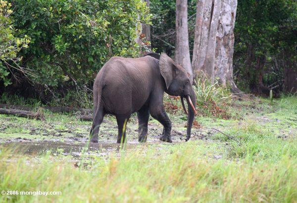 Forest elephant in Gabon. Photo by Rhett A. Butler.