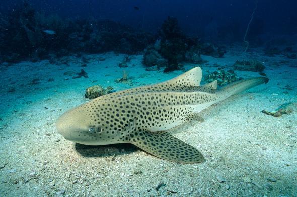 leopard-sharks-1.adapt.590.1