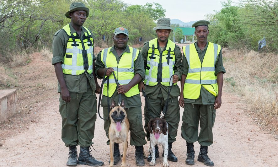 Tanzanian officers with Jenny, left, a Belgian Malinois, and Dexter, an English springer spaniel. Photograph: Julie Larsen Maher/Wildlife Conservation Society